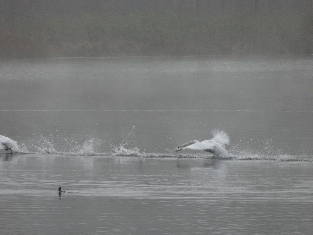 Une poursuite de cygnes sur le lac à Aluksne