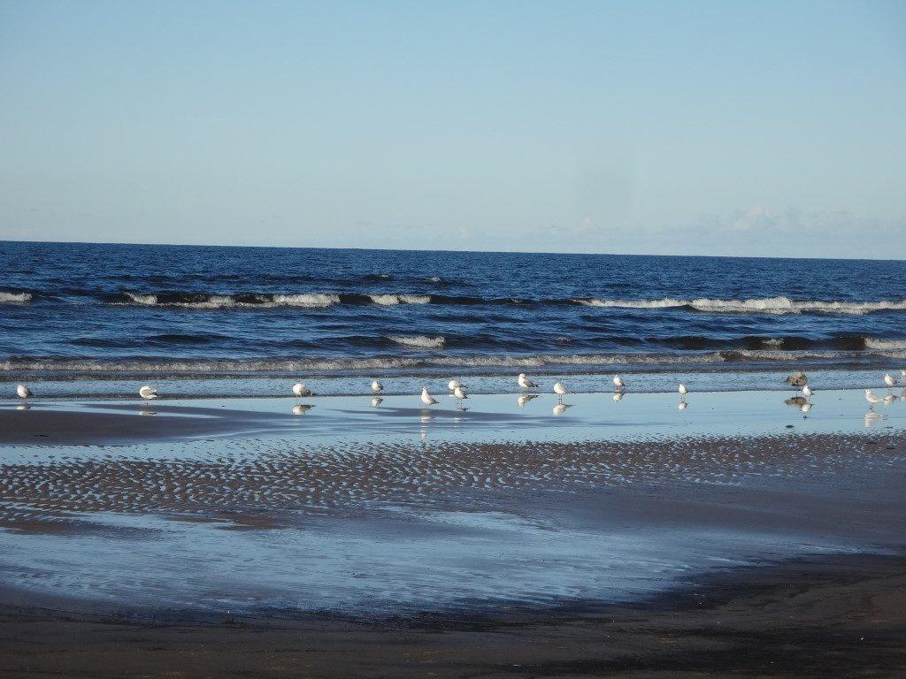 Les oiseaux sur la plage à Jurmala