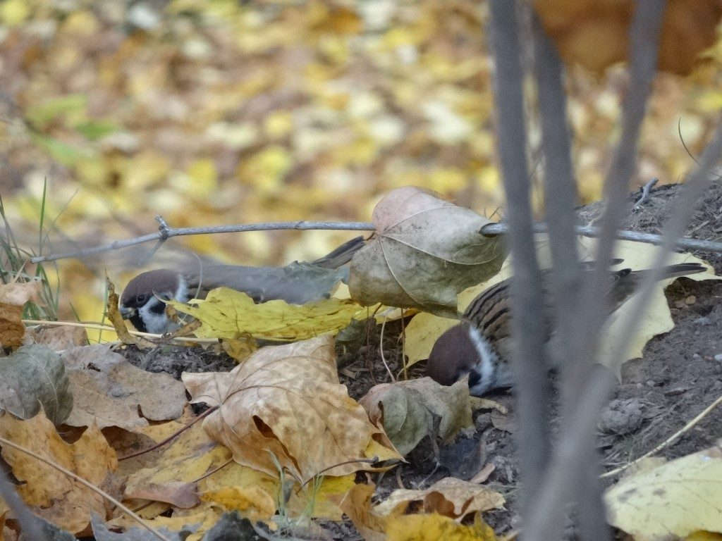 Des petits oiseaux à Tartu