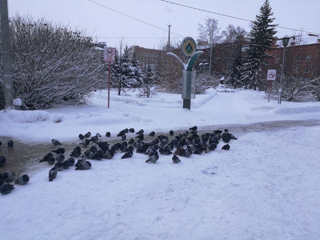 Tomsk, même les pigeons ont froid