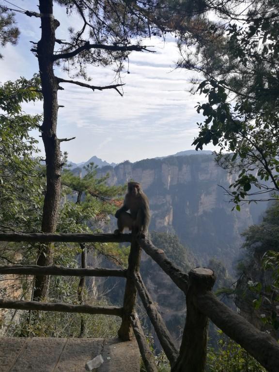 Un singe, trop blasé pour admirer la vue