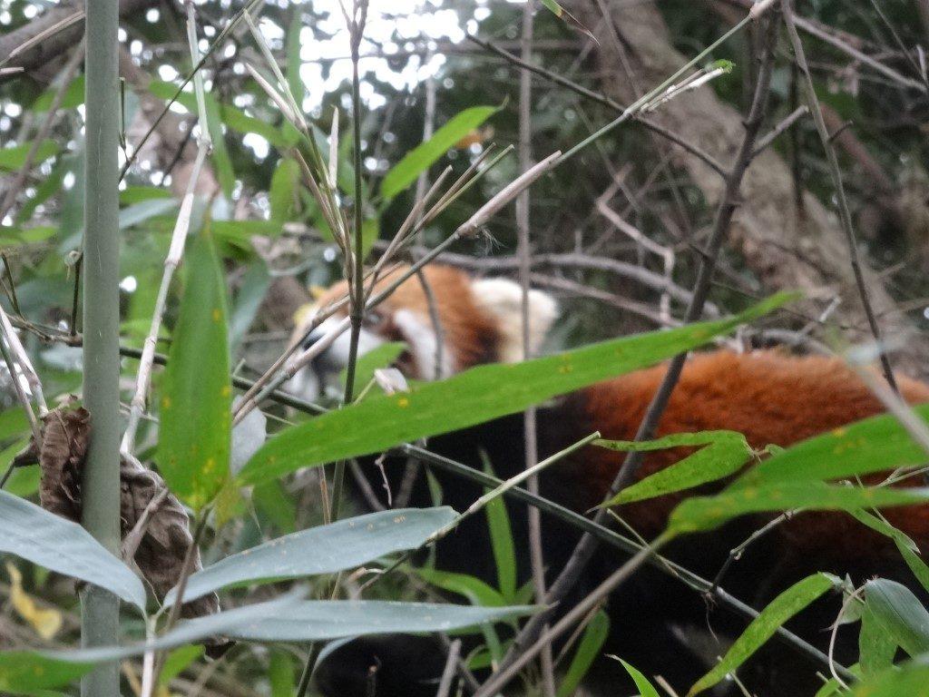 Des pandas roux au centre de conservation des pandas