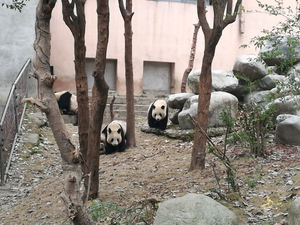 Des pandas au centre de conservation des pandas