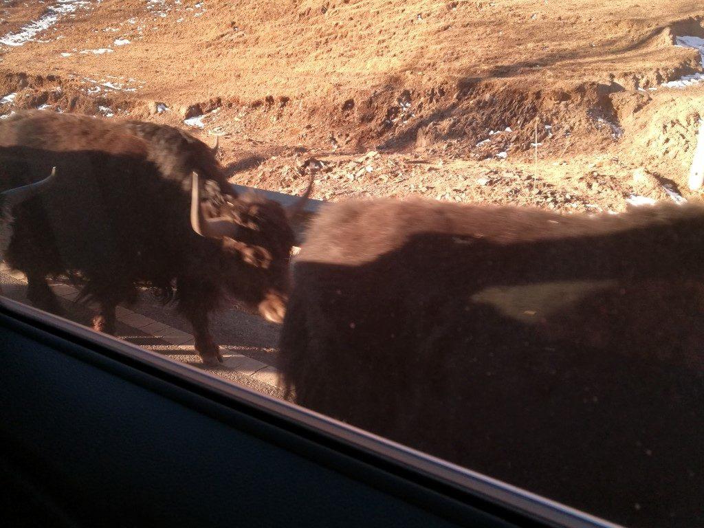 Des yaks sur la route en quittant Tagong