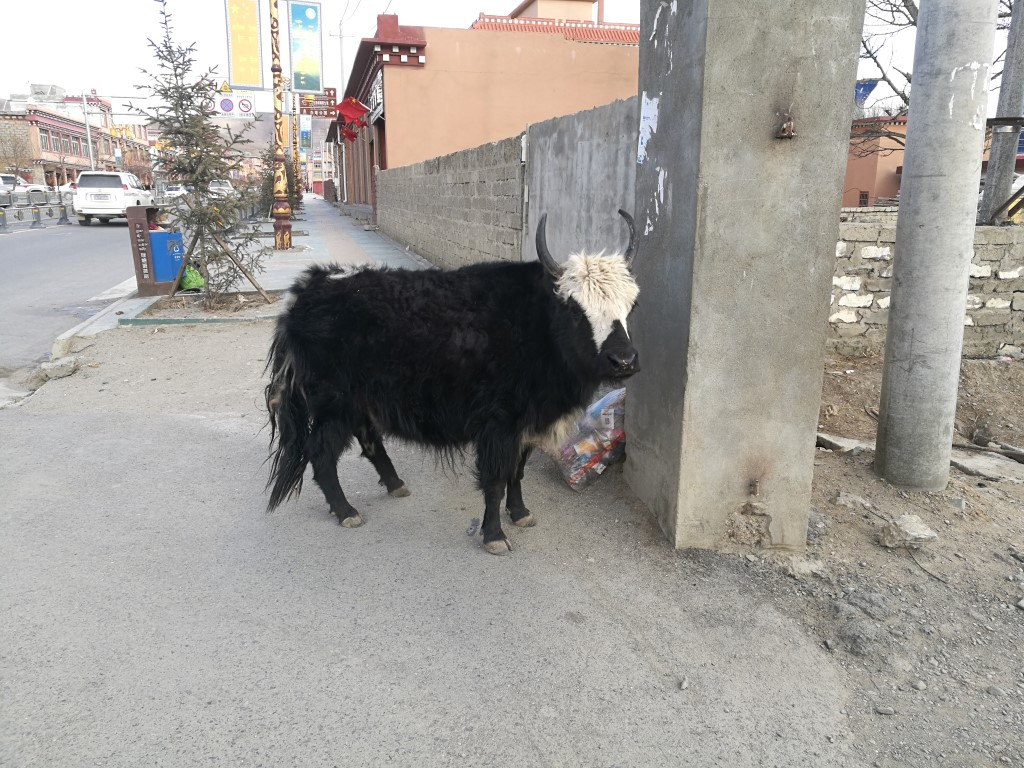 Un yak solitaire dans les rues de Litang